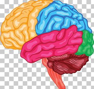Human Brain Anatomy Brainstem Cerebrum PNG
