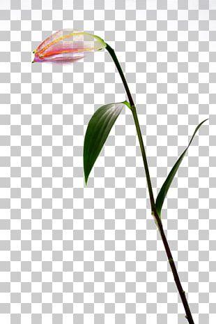 Bud Lilium Flower PNG