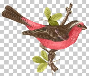 Lovebird Finch The Birds Of Australia Passerine PNG