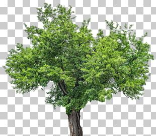 Tree Stock Photography Red Mulberry PNG