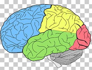 Lobes Of The Brain Temporal Lobe Frontal Lobe Human Brain PNG
