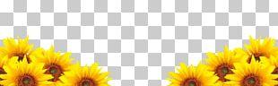 Common Sunflower Petal PNG