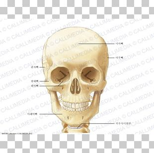 Neck Bone Anatomy Head Ligament PNG