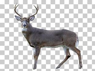 White-tailed Deer Reindeer Antler Animal PNG