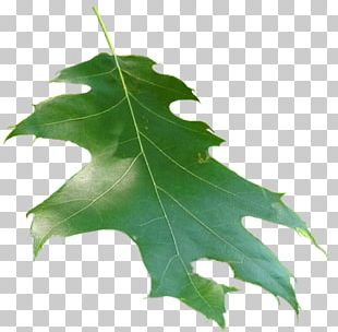 Family Plane Trees Leaf PNG