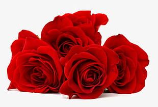 Red Rose Flower Closeup PNG