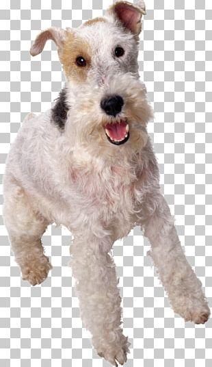 Australian Cattle Dog American Eskimo Dog Patterdale Terrier Wire Hair Fox Terrier Affenpinscher PNG