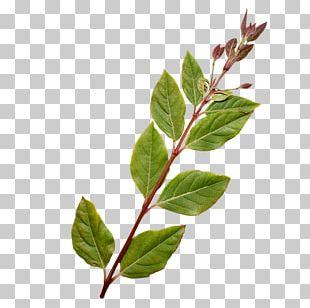 Twig Horse Plant Stem Leaf Herb PNG