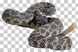 Eastern Diamondback Rattlesnake Hognose Snake Kingsnakes Boa Constrictor PNG