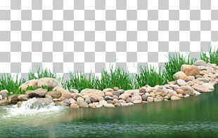 Pond Aquatic Plant Lake PNG