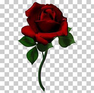 Garden Roses Cut Flowers Rainbow Rose Flower Bouquet PNG