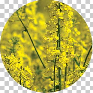 Rapeseed Green Manure Agriculture Raw Material PNG