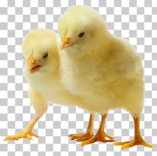 Chicken Broiler PNG