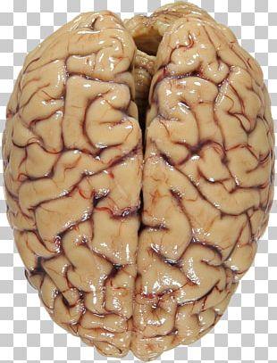 Primate Human Brain Proteome Chimpanzee The Brain Machine Human Brain Project PNG