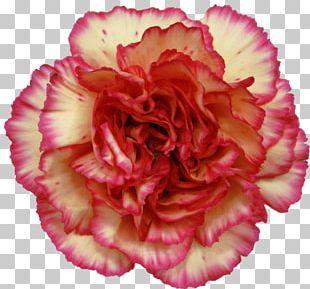Carnation Cut Flowers Orange PNG