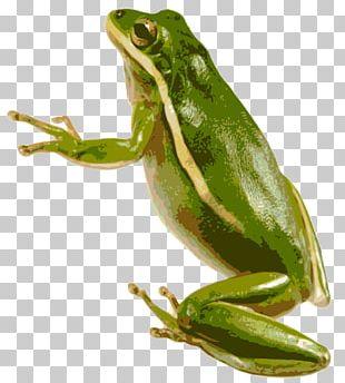 American Green Tree Frog Australian Green Tree Frog PNG