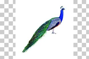 Asiatic Peafowl Stock Photography Bird PNG