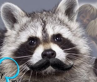 Raccoon Beer Indian Creek Taxidermy FACEIT Alcohol Intoxication PNG
