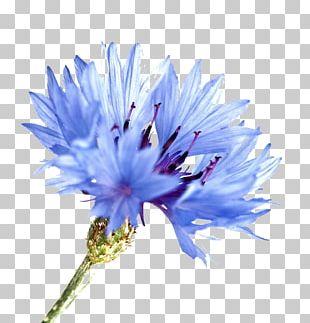 Cornflower Blue Watercolor Painting PNG
