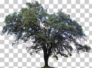 Ulmus Americana Southern Live Oak Tree Crab PNG