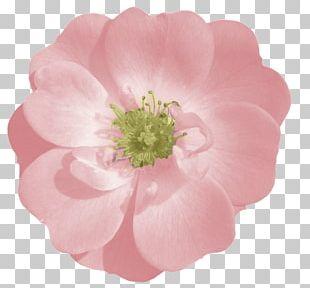 Rose Pink Flower PNG