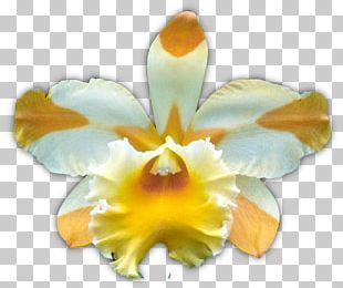 Dancing-lady Orchid Yellow Moth Orchids Flower Boat Orchid PNG