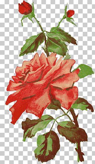 Garden Roses Cabbage Rose Floribunda Photography Vintage Clothing PNG
