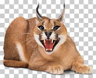 Wildcat Kitten Sphynx Cat Felidae Savannah Cat PNG