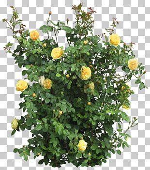 Garden Roses Flower Shrub Tree PNG