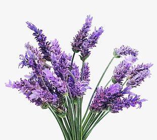 Lavender Dream PNG