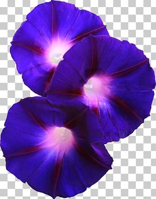 Flower Morning Glory Violet Pansy PNG
