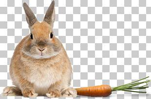 Domestic Rabbit Netherland Dwarf Rabbit Stock Photography PNG