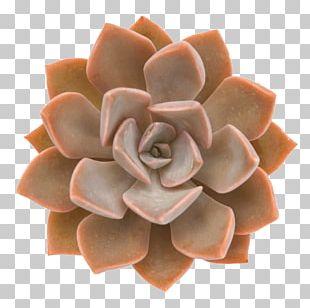 Succulent Plant Echeveria Cactus Plants Rosette PNG