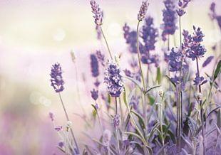 Lavender Oil Plateau De Valensole Flower Stock Photography PNG