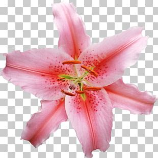 Lilium Flower Stock Photography PNG