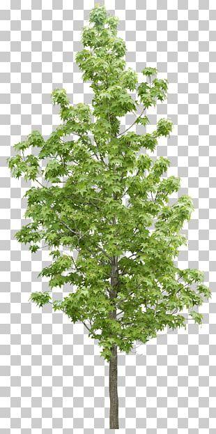 Tree Forest Vegetation PNG