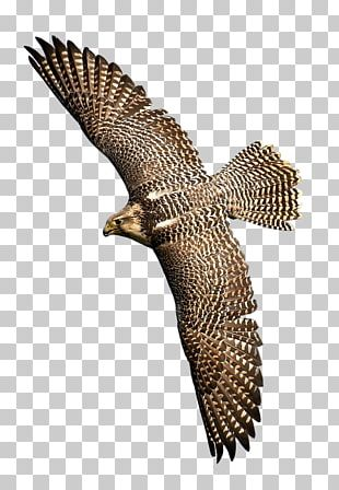 Hawk Bird Of Prey Eagle Falcon PNG