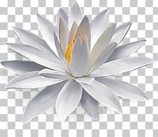Nymphaea Alba Egyptian Lotus Flower Lilium PNG