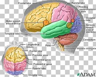 Human Brain Human Body Anatomy Central Nervous System PNG