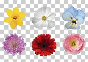Chrysanthemum Transvaal Daisy Floristry Cut Flowers PNG