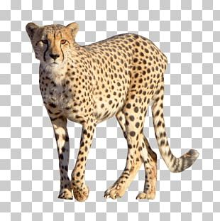 Cheetah Leopard PNG