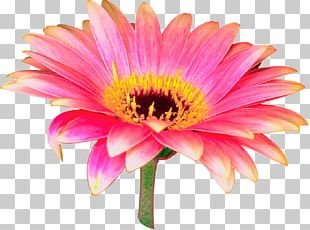 Transvaal Daisy Flower Tulip PNG