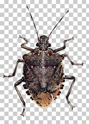 Insect Brown Marmorated Stink Bug True Bugs PNG