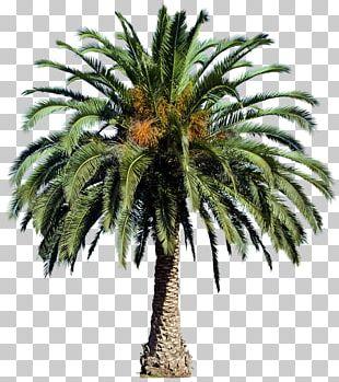 Populus Nigra Tree Arecaceae PNG