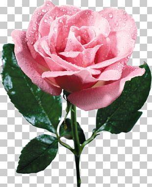 Garden Roses Cabbage Rose French Rose China Rose Floribunda PNG