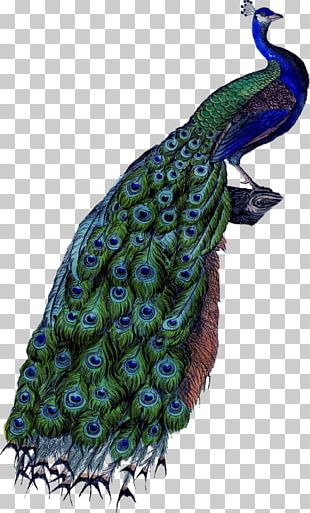 Peafowl PNG