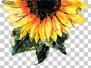 Common Sunflower Watercolor Painting Sunflower Seed PNG