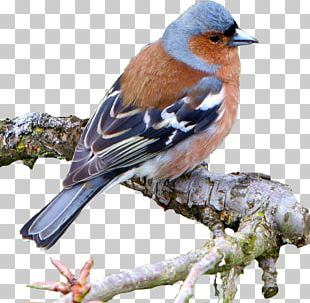 Brambling Common Nightingale Bird Common Chaffinch House Sparrow PNG