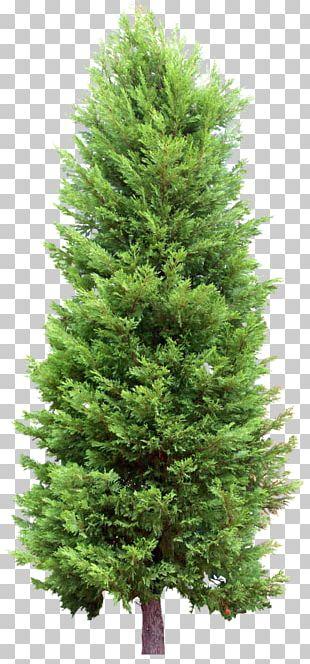 Fir Tree Pine Evergreen PNG