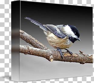 Wren Fauna Chickadee Beak Feather PNG